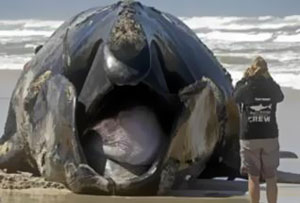 A whale carcass washed up in South Africa travels by land