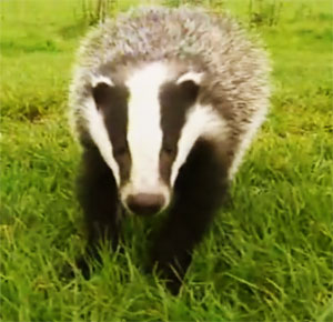 Badger culling is expected to commence