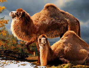 Giant camel remains are found in the Arctic