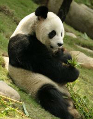 Panda in zoo may be pregnant