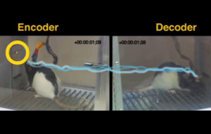 Rats can communicate through telepathic-like process
