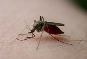 Malaria mosquitoes drawn to human odour, says research