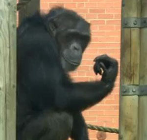 Twycross Zoo was in lockdown after chimps escaped