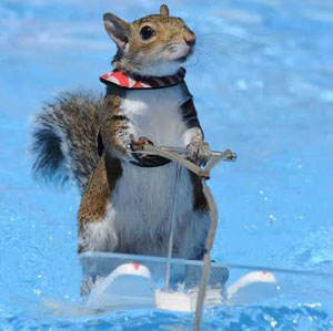 The skiing squirrel returns!