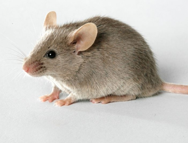 Pests That Spread Diseases and Damage Properties