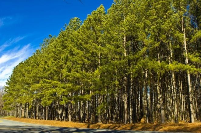 Top 4 Pine Tree Varieties For Privacy & Low Maintenance