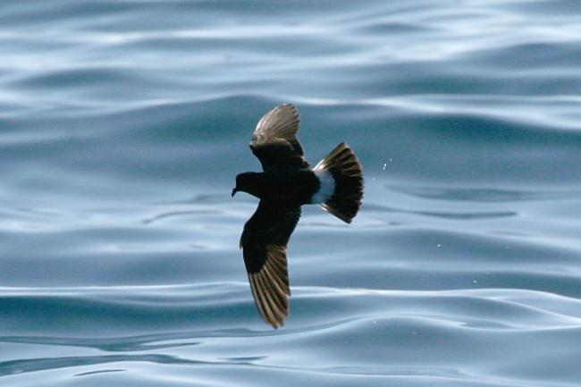 GPS Trackers for Small Sea Birds