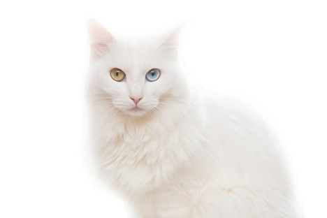 A Detailed Guide To The Turkish Van Cat Breed